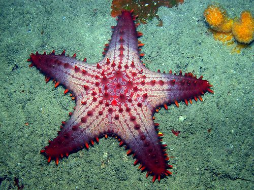 an introduction to the life of a brittle starfish Starfish sea urchins  the green brittle stars are often sold as reef safe, meaning they are fine for hard and soft corals but they sure do a good .