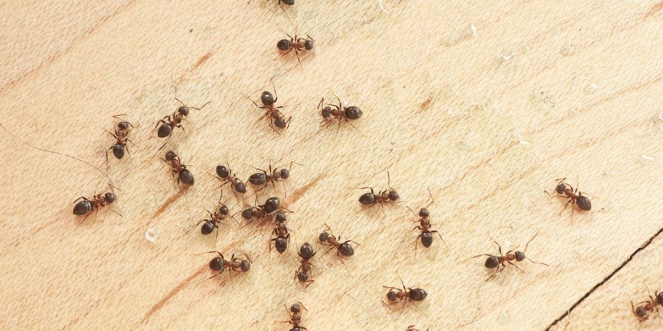 24+ Why do i have black ants in my house ideas