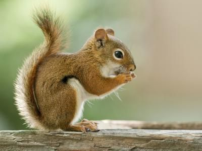 red squirrel on wood--Germany