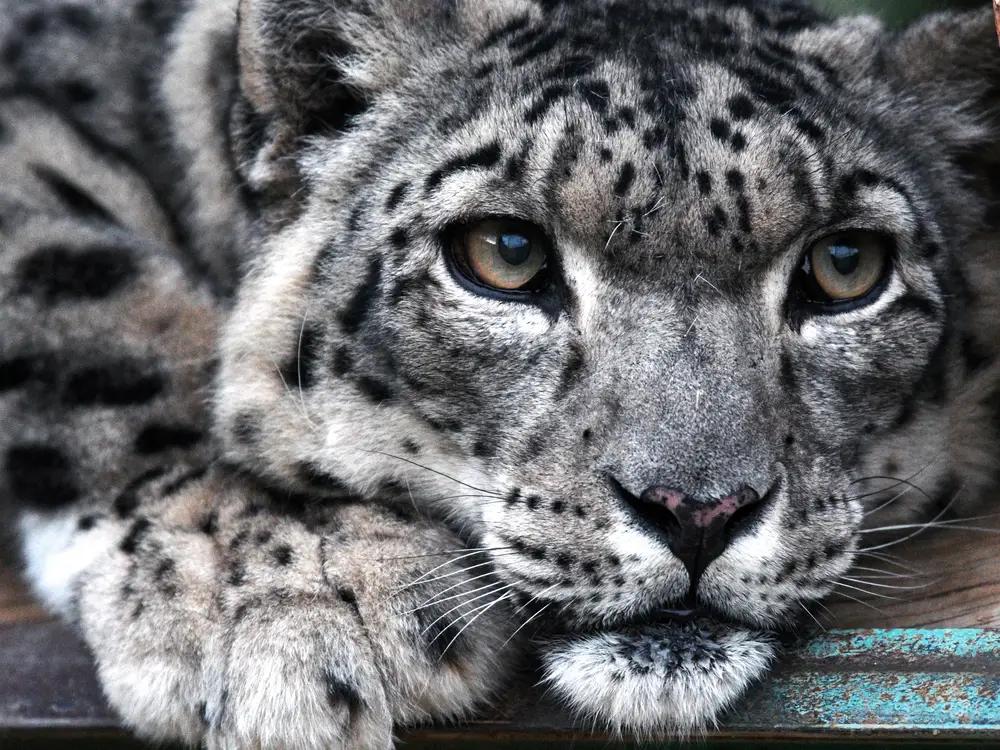 Photos Of Rare Snow Leopards Insider Snow Leopard Snow Leopard Leopards Wild Animals Cute Baby Animals Tigers Big Cats Snow Leopard Baby Snow Leopard Animals