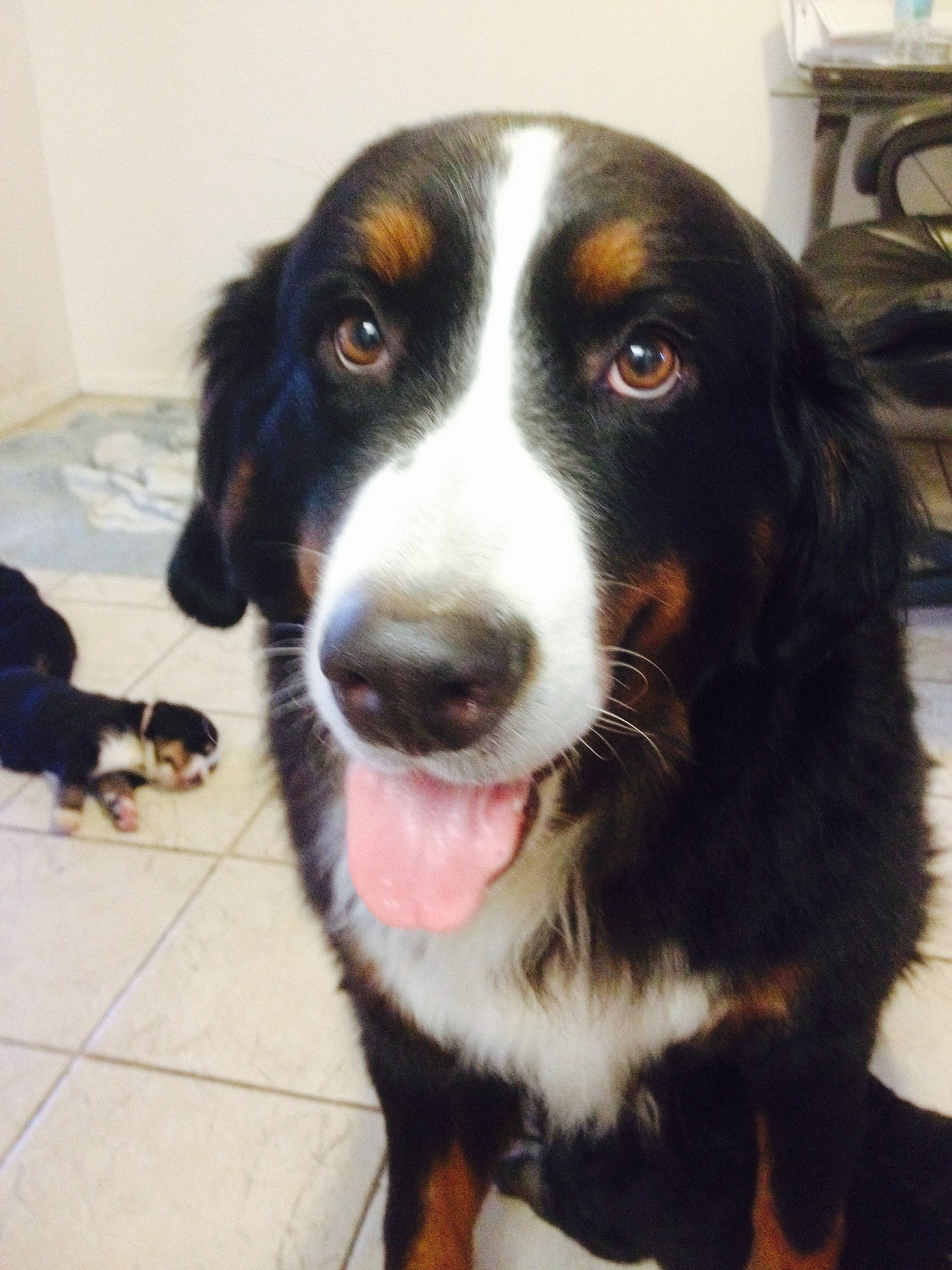 """Pin by Natural Health Synergy on Bernese Mountain Dog """"My"""