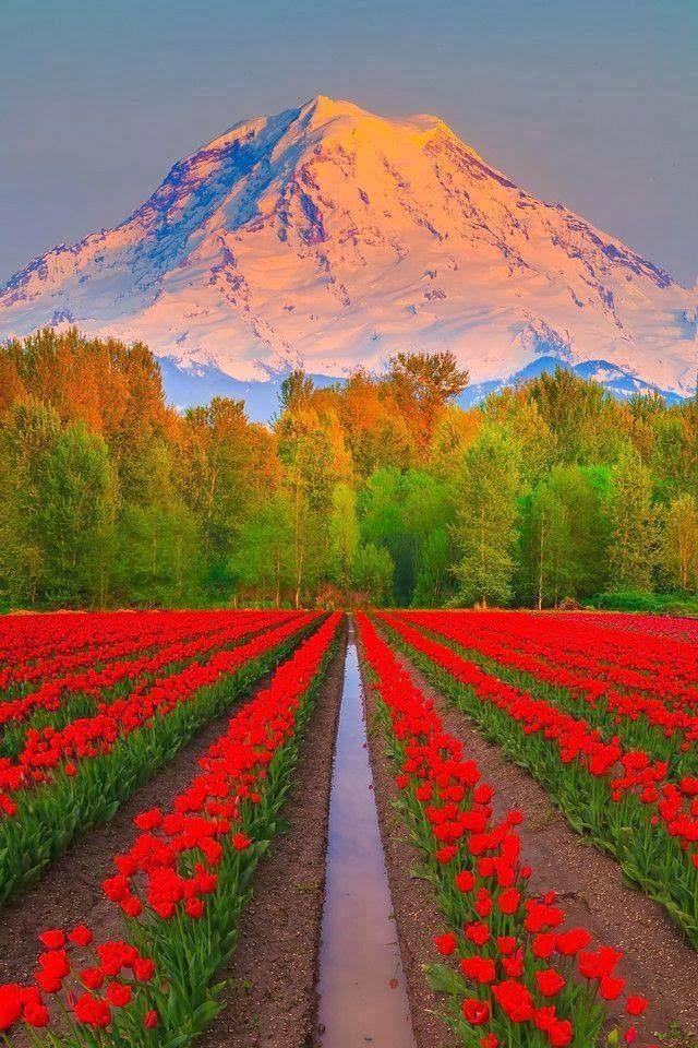 Beautiful Skagit Valley Tulip Fields, Mt. Vernon, Washington
