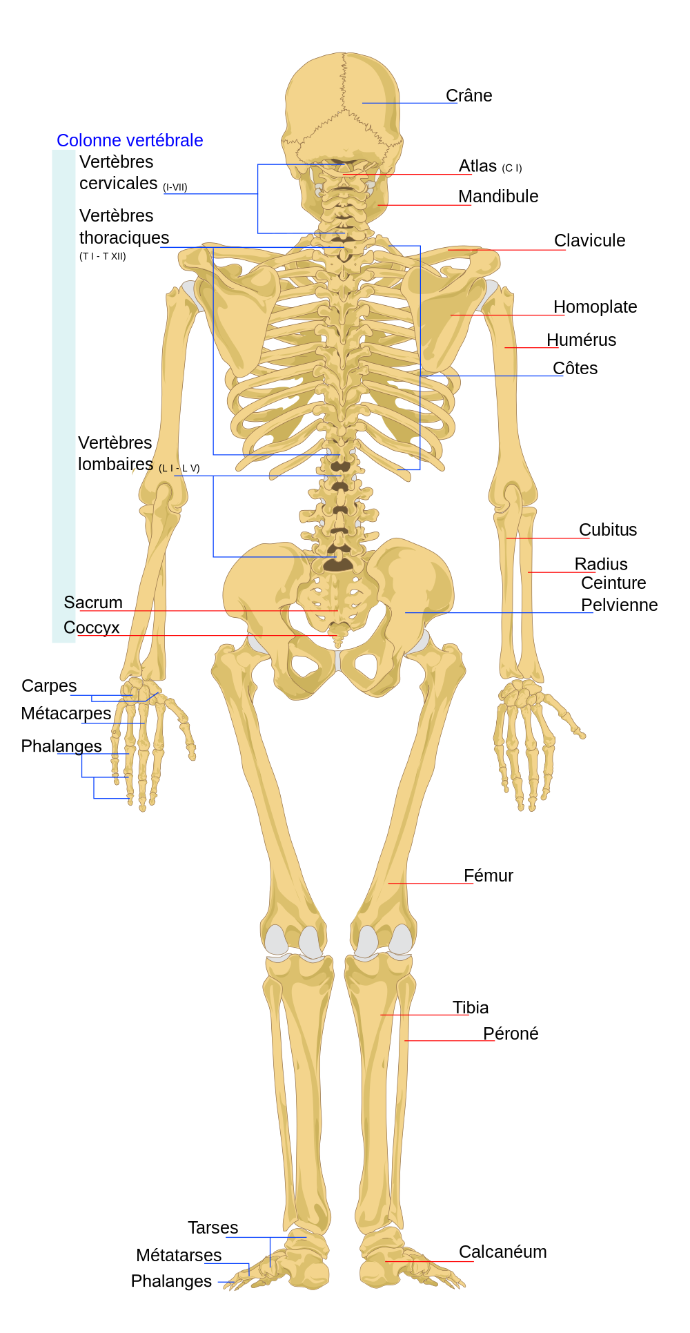 File:Human skeleton back fr.svg - Wikimedia Commons | dakala1 ...