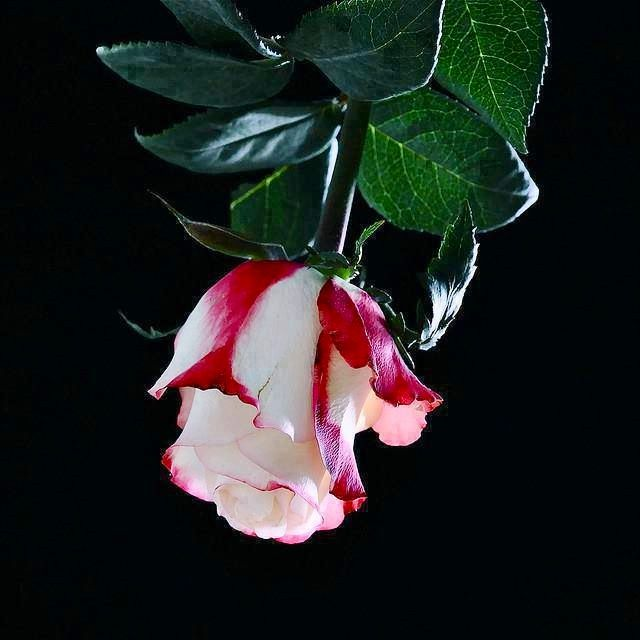 Upside Down Rose Of Delicateness Floral Beauty Pinterest