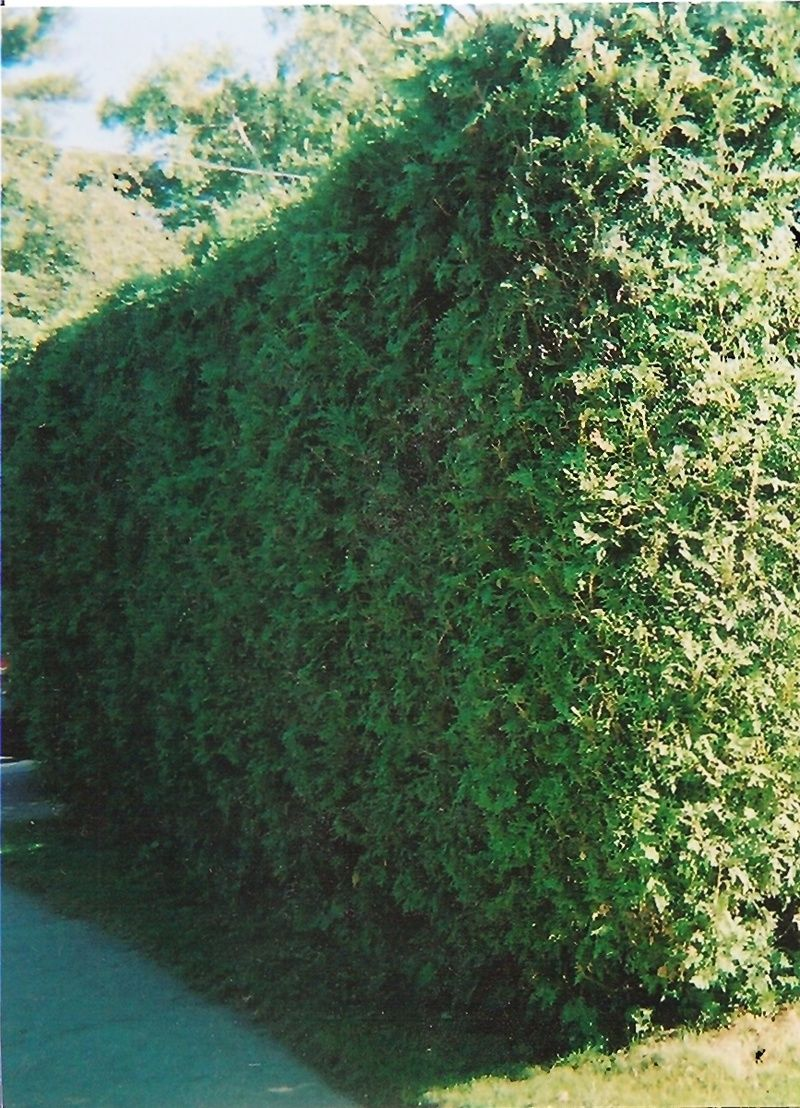 ontario white cedar hedge gro best gardens hedges pinterest