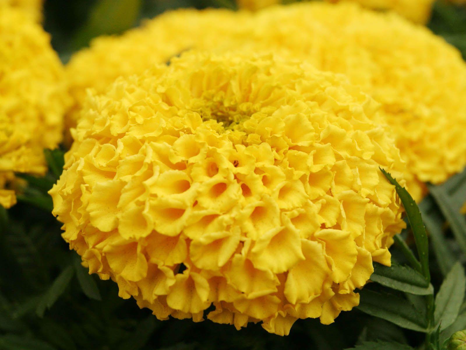 45++ Marigold flower images download inspirations