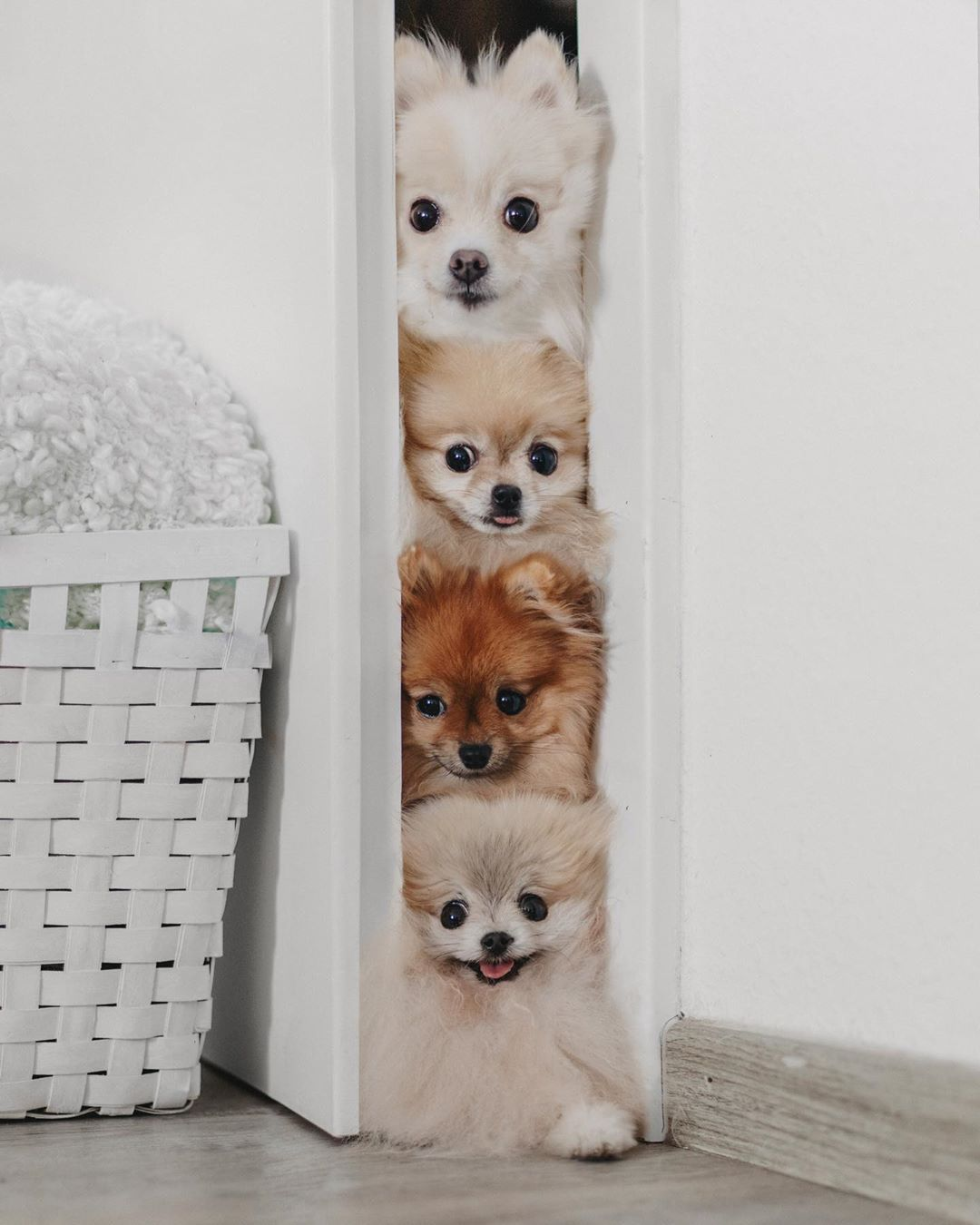 "Photo of Poms | Happiness | Lifestyle on Instagram: ""Weekend, is that you? 👀 Can you name our fur babies from top to bottom? 🐶💗 . Today was my last working day before we go on our holiday 😍…"""