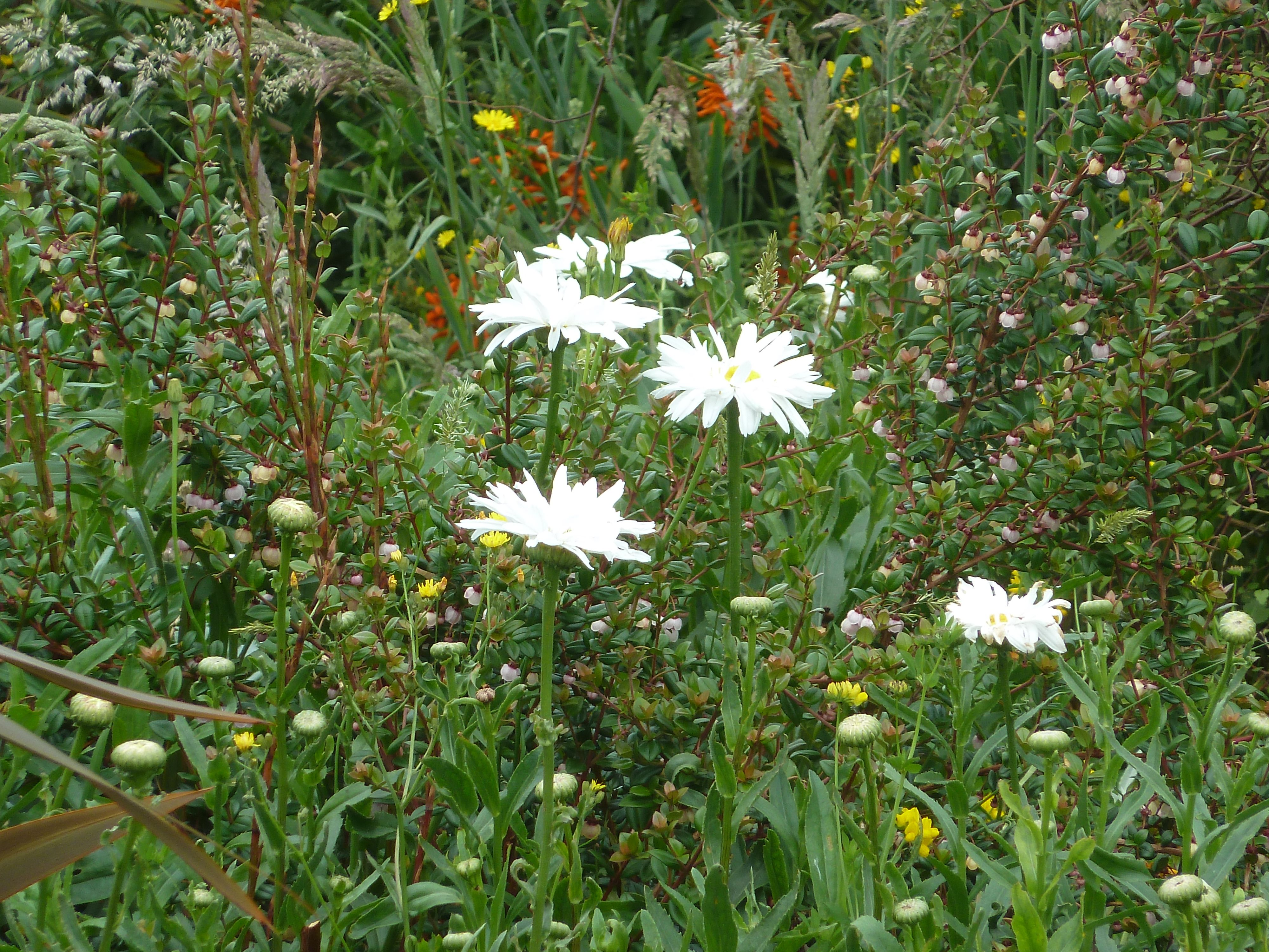 Mixed border - daisies and NZ cranberries.
