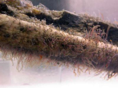 Bone-munching worms found on sea floor