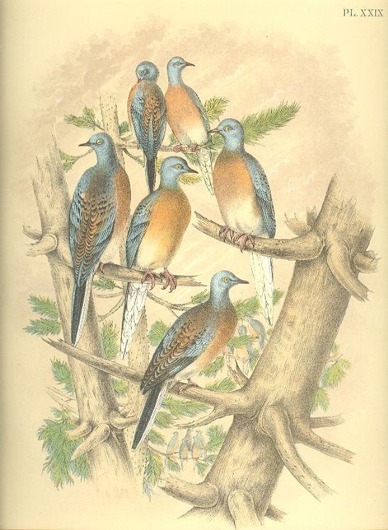 PASSENGER PIGEON SCARCE 19th Century Litho Crayonne Lithograph Birds ~~ 1800s Old Color Antique Art Print Jacob Studer [Inv#29