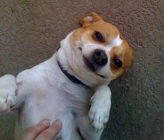 My baby boy....Bobby (Chihuahua/Jack Russel) | Lulu ...