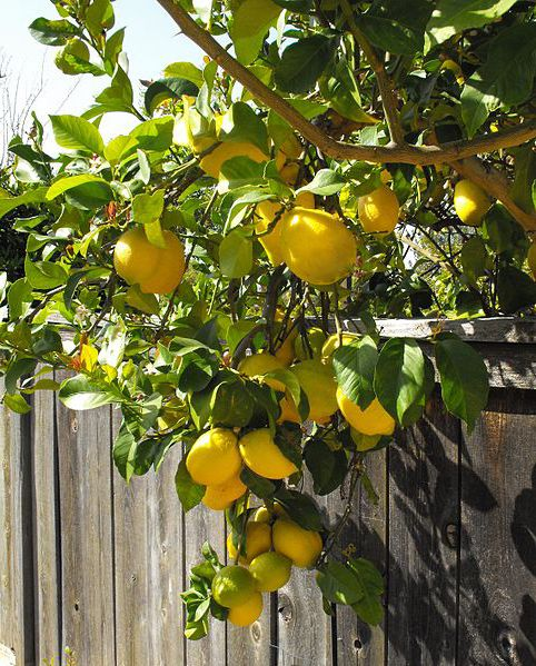 Dwarf Lemon Tree Eureka 8 Pot Seconds Freshly Potted Eureka Lemon Tree Lemon Tree Potted Lemon Tree From Seed