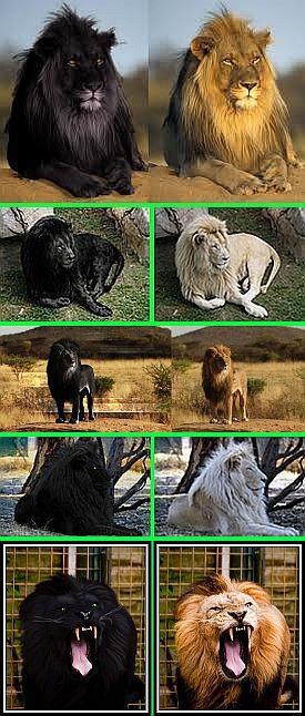 Shukernature Black Lions Manipulation Melanism And Mozaicism Melanism Black Lion Animals Beautiful