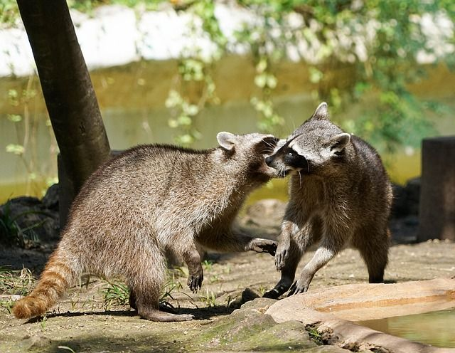 Movements of two raccoons playing.