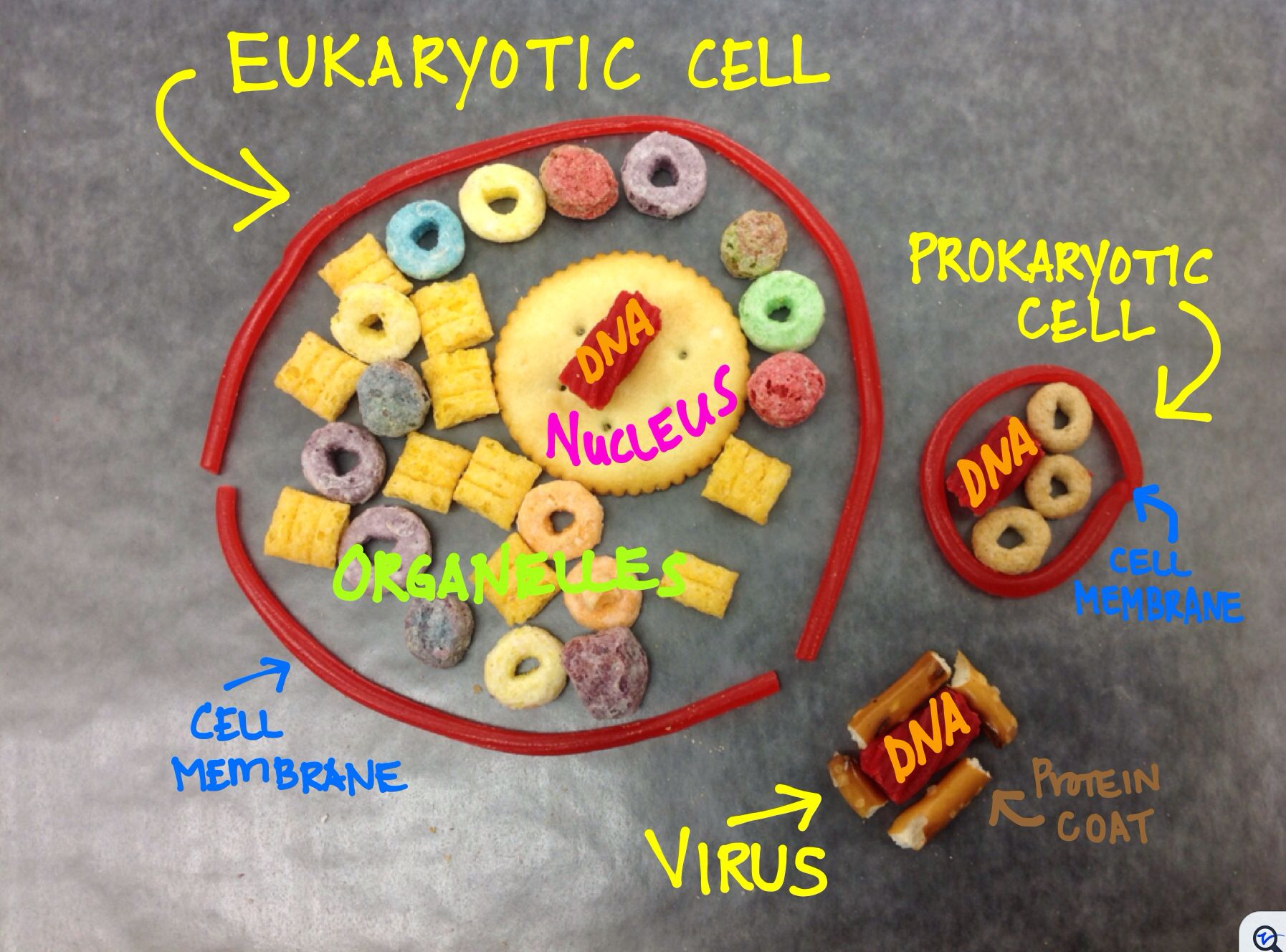 Simple Edible Pro Euk Amp Virus Models I Developed This Simple Activity To Visually Reinforce