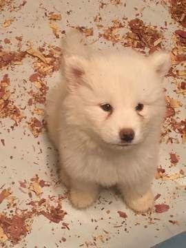 Alaskan Husky Puppy For Sale In Virginia Beach Va Adn 41547 On
