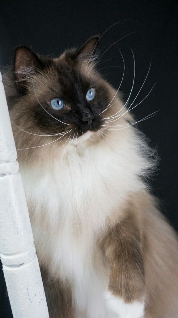 If You Want To Make Cleaning Your Cat S Litter Boxes Easier Please Join My Mailing List To Get My Intro Video For My New Litter Channe Ragdoll Cat Cats Kittens