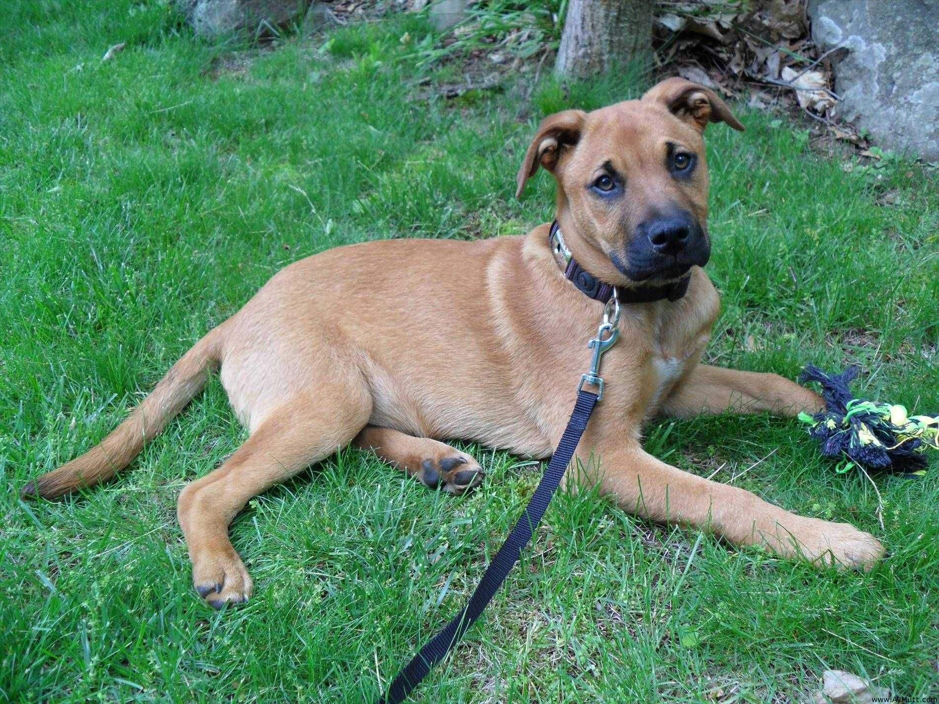 French Bulldog German Shepherd Mix Shepherd Mix Puppies Rhodesian Ridgeback German Shepherd Mix