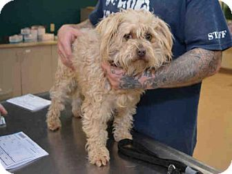 Pictures Of Poppy A Poodle Miniature Mix For Adoption In
