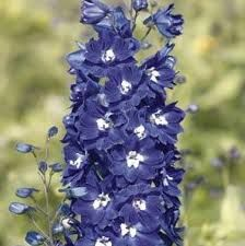 Afbeeldingsresultaat voor delphinium mf dark blue white bee