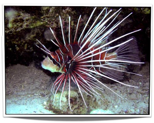 Radiata Lionfish Lion Fish Pet Fish Aquarium Fish