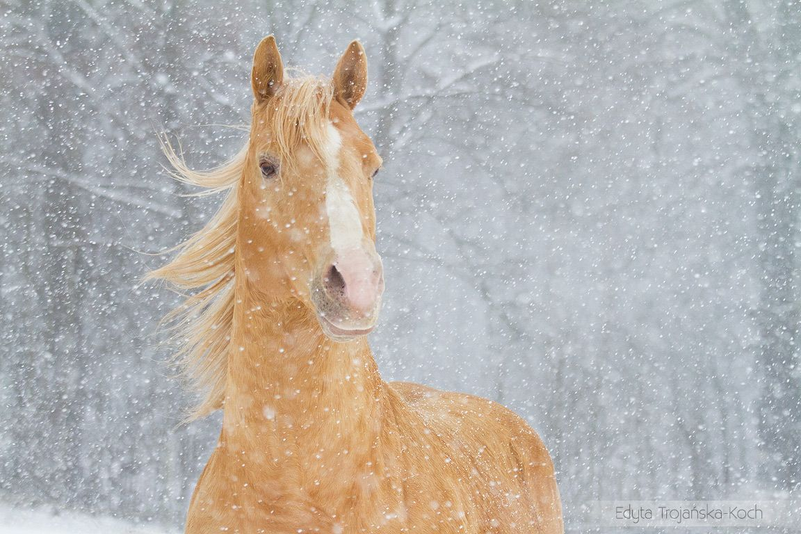 AQH stallion in winter