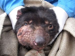 Tasmanian devil facial tumour update