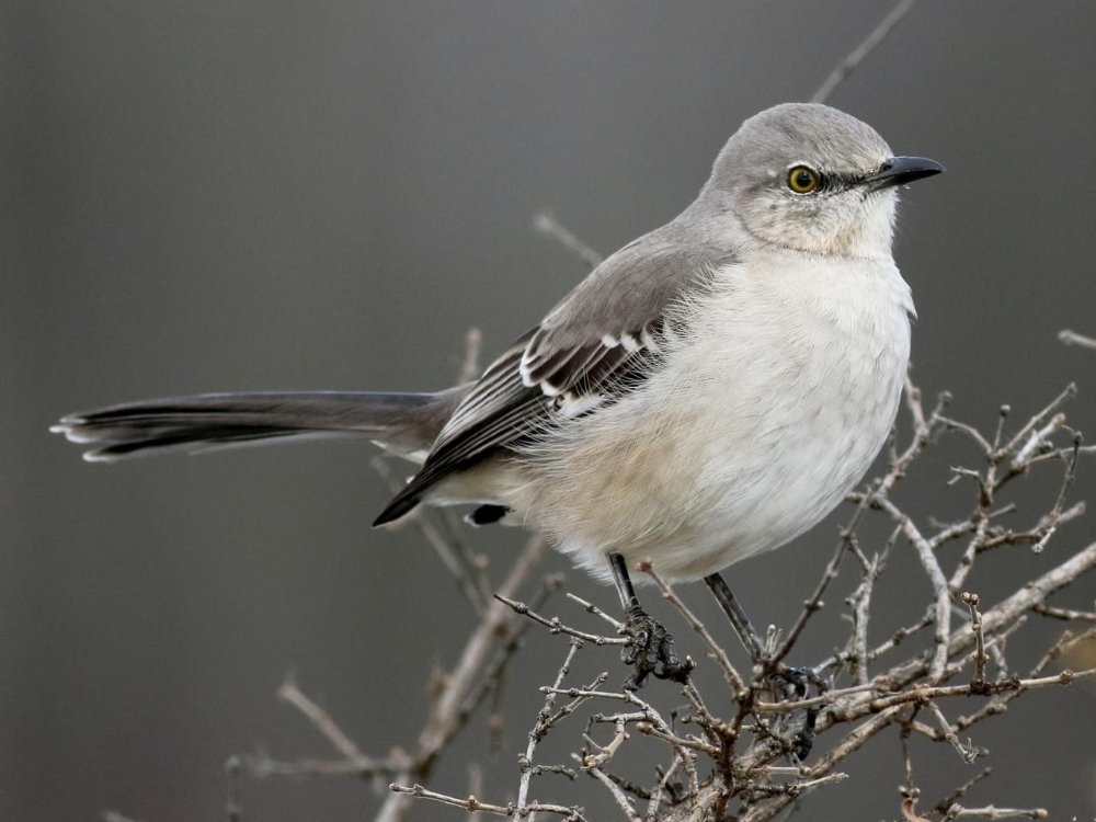 Cenzontle Norteno Celebrate Urban Birds En 2020 Aves Tropicales Aves Hermosas Norteno