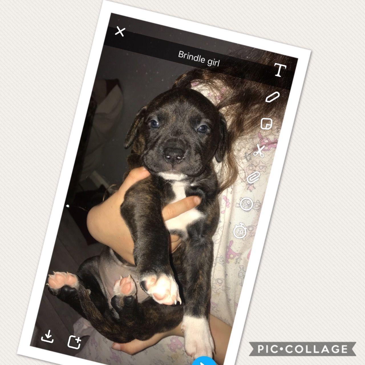 Rotti X Mastiff American Bull Puppies Pets