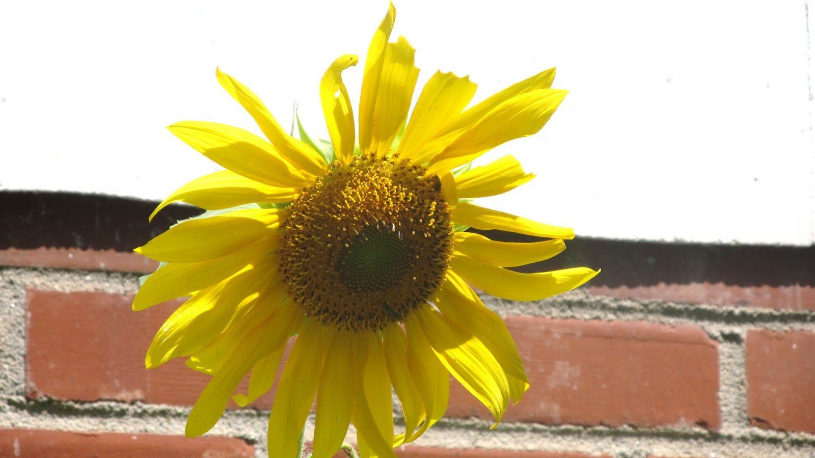 Sunflower World Plants Garden