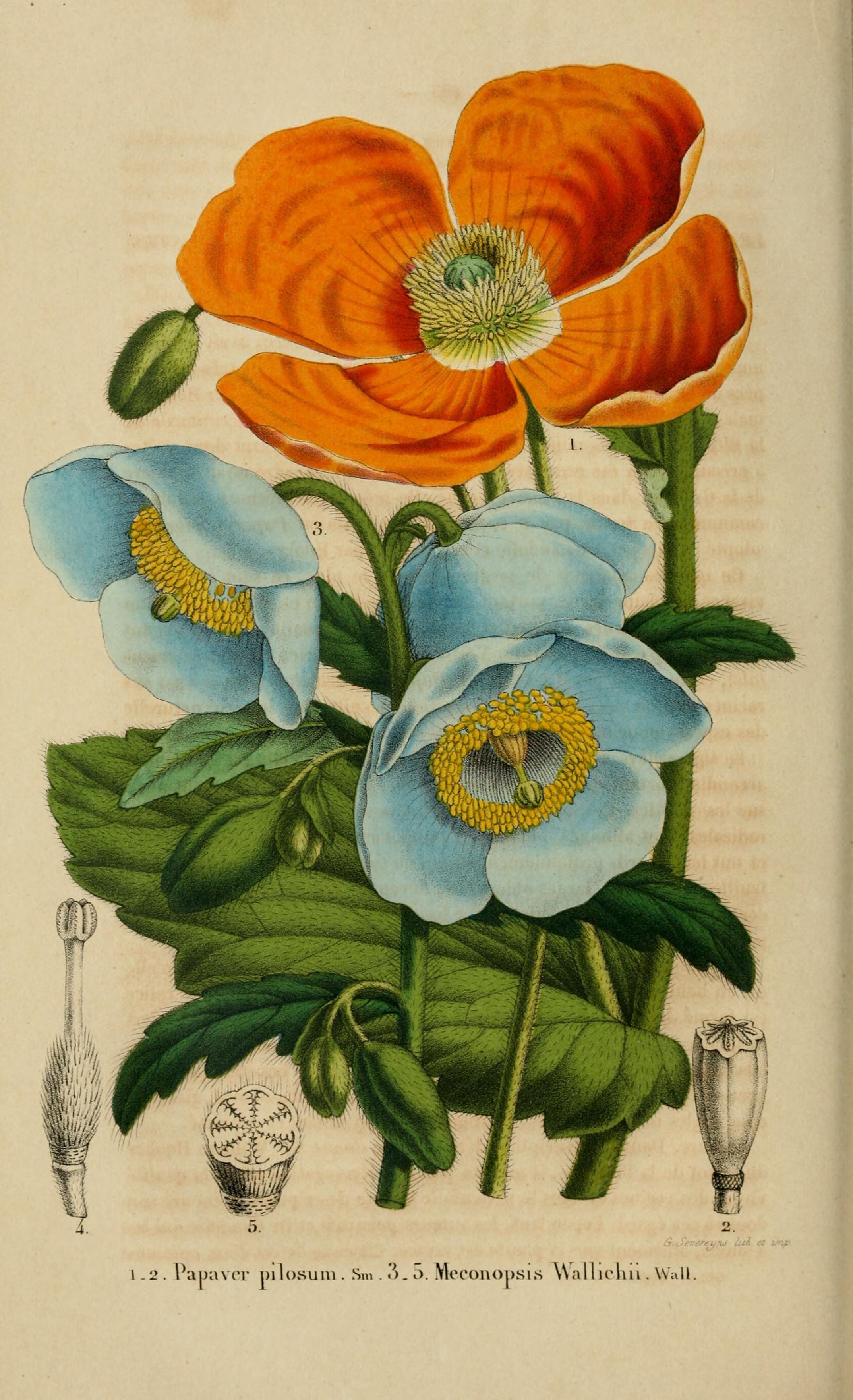 Meconopsis paniculata and Papaver pilosum - circa 1854
