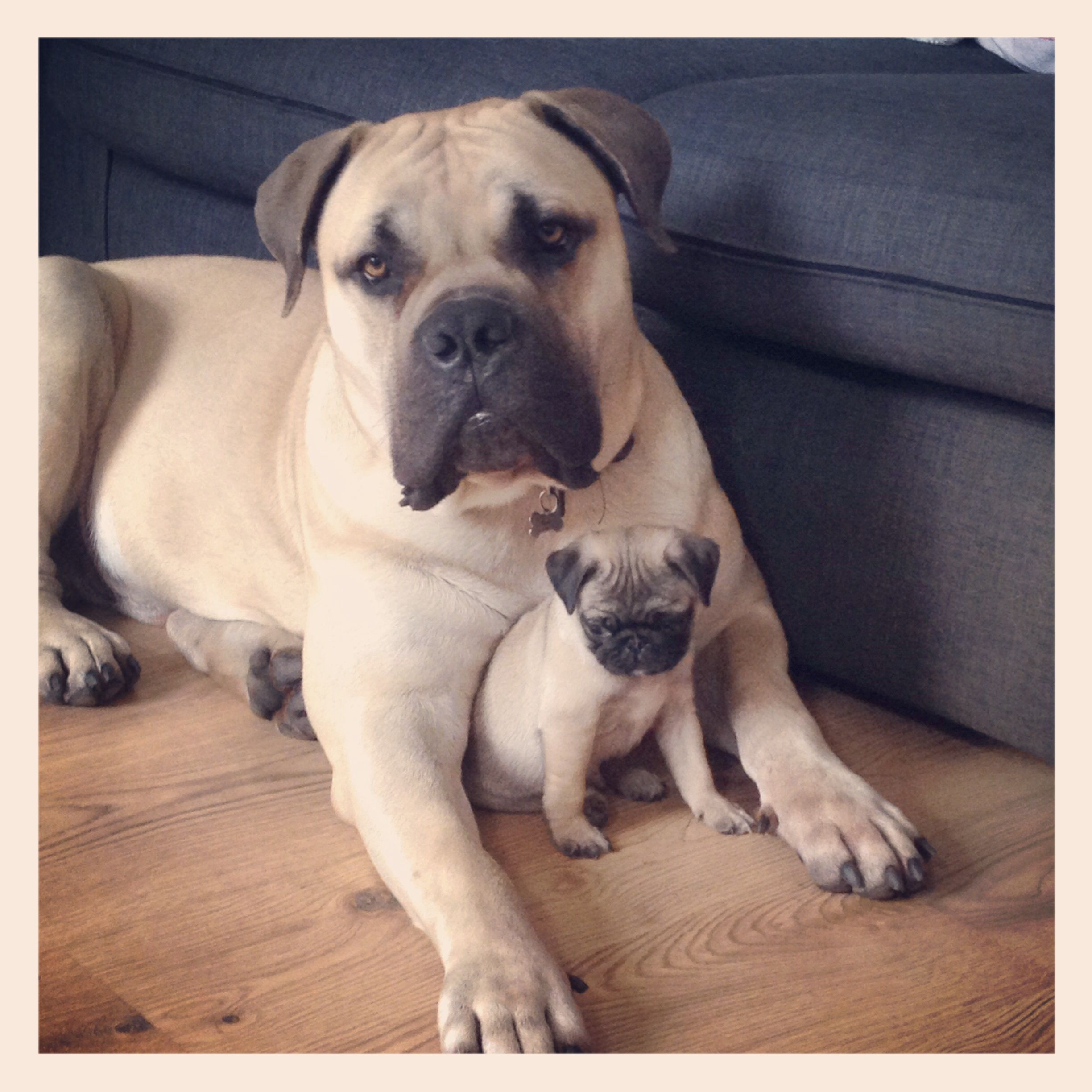 2 Month Old Pug And 18 Month Old Boerboel Just Woke From Having A