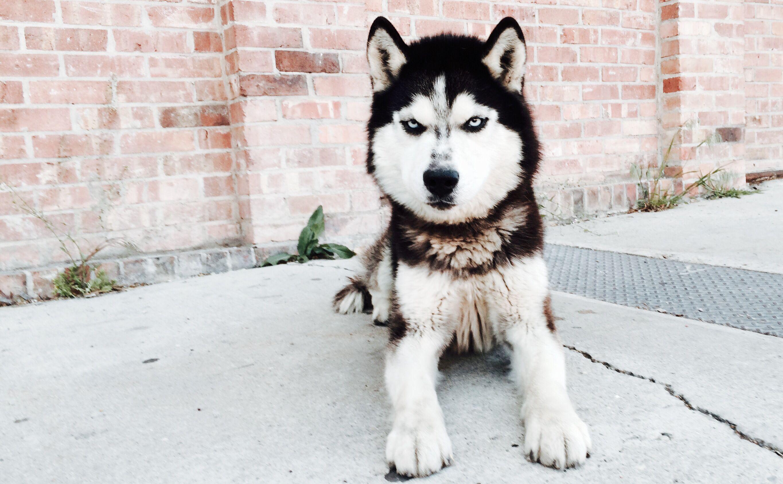 New Rescue Pup Rowlf 4 Year Old Siberian Husky Siberian