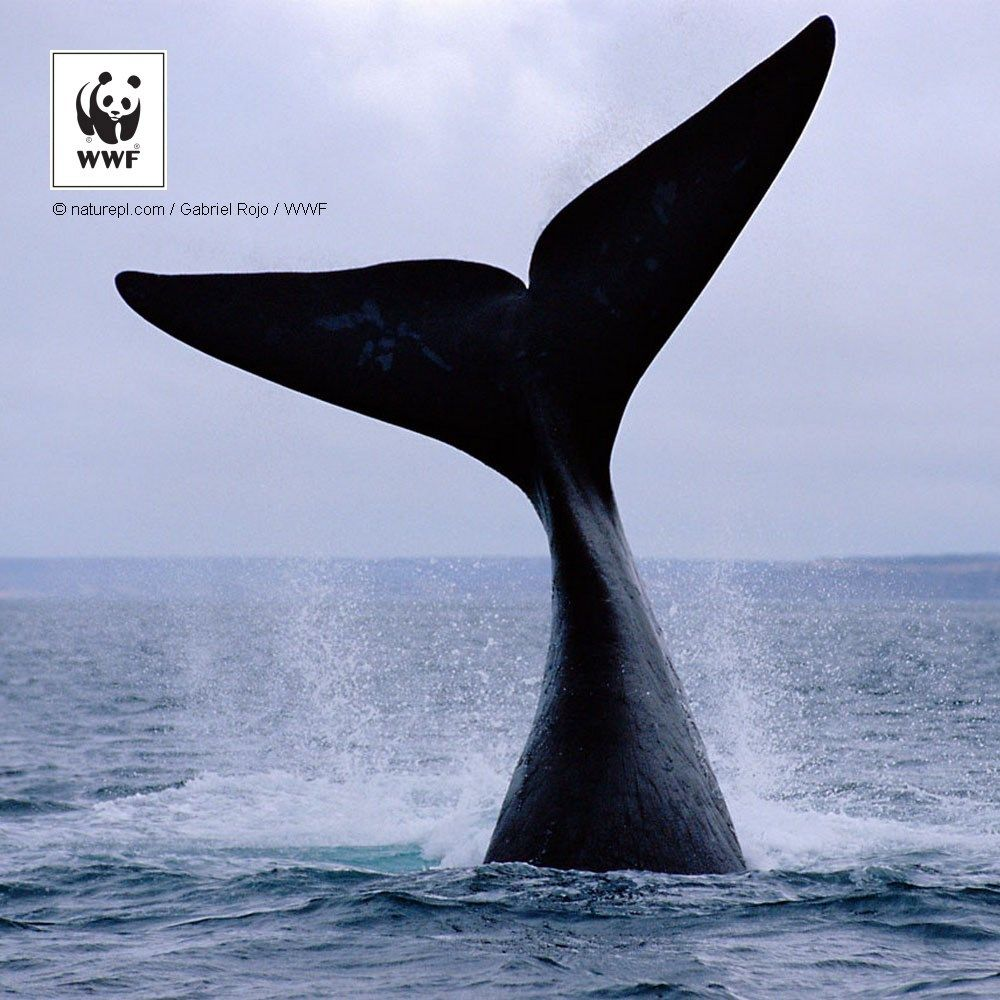 right whale Noaa extends rule reducing risk of whale ship strikes along us east coast right whales are the rarest of all large whale species and among the rarest of all marine mammal species there are only about 450 right whales in the north atlantic right whales have a thick layer of blubber, so they float.