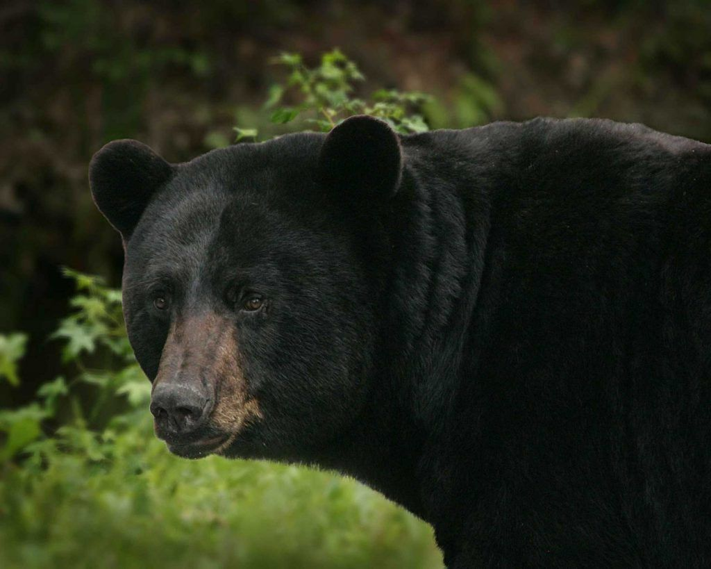 Big Mill Bed And Breakfast Innkeeper Blog Post Talks About The Black Bear Festival Every June Black Bears Can Be S American Black Bear Bear Hunting Black Bear