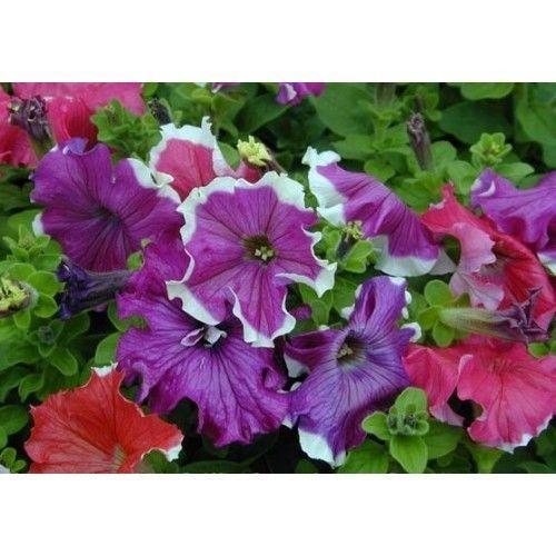 Petunia Frost Mix Flower Seeds Petunia X Hybrida 40 Pellets Flower Seeds Petunias Flowers