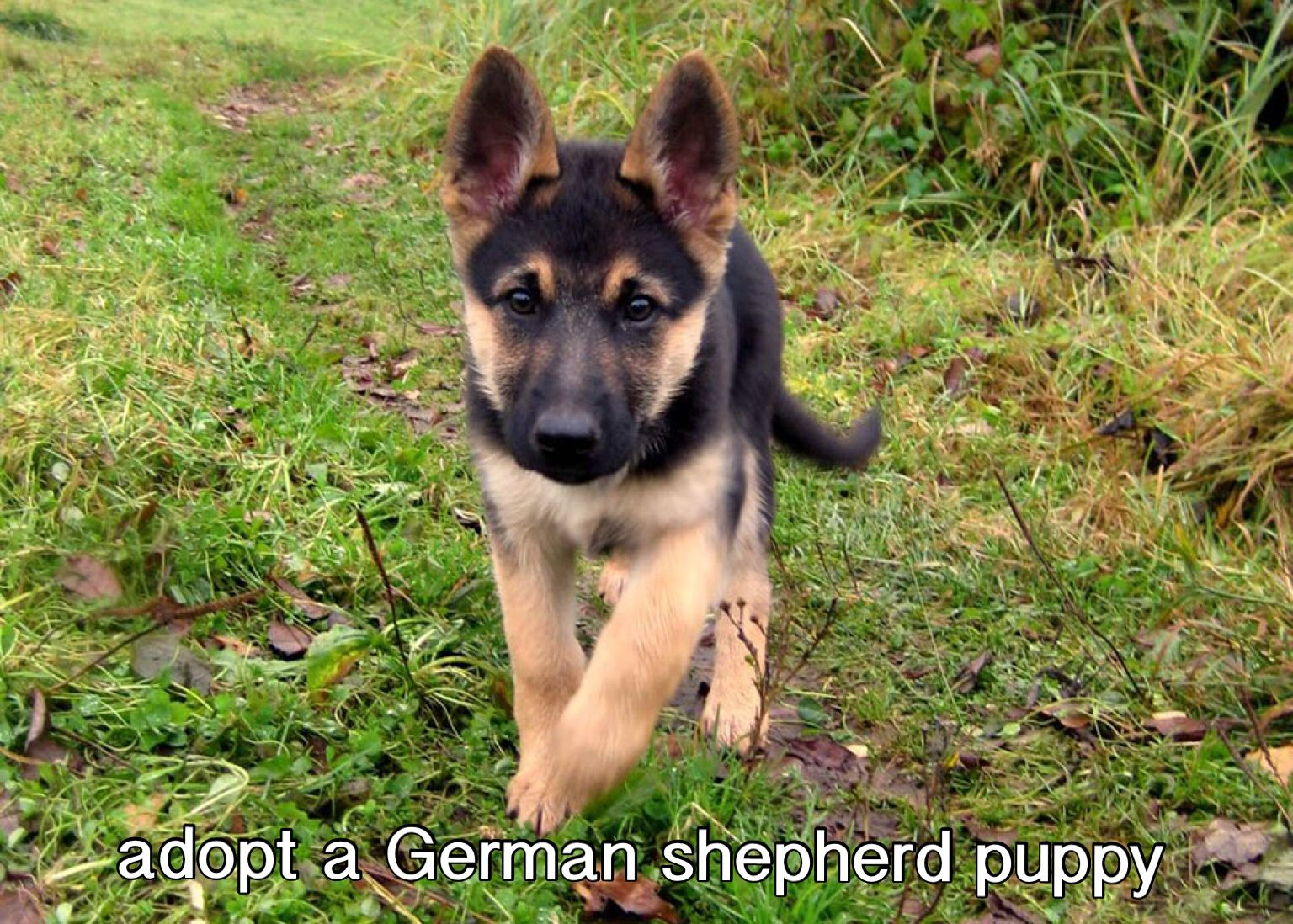 Excited To Adopt Or Rescue A German Shepherd Puppy In The Future