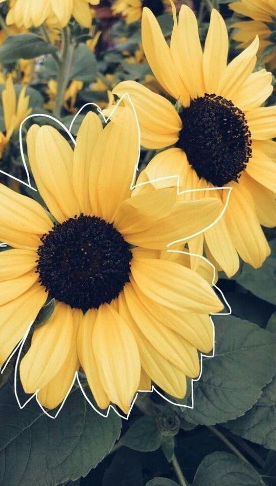 P I N T E R E S T Jdelgxdo Sunflower Wallpaper Tumblr Wallpaper Screen Wallpaper