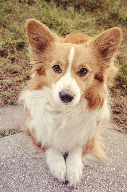 #pembroke welsh corgi      #animals      #dog      #corgi