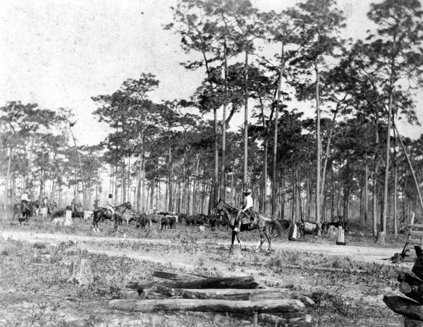 Florida Memory Cattle Drive At Bartowat The Far Left Is Crayton
