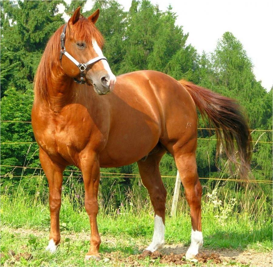 1861 best American Quarter Horse images on Pinterest