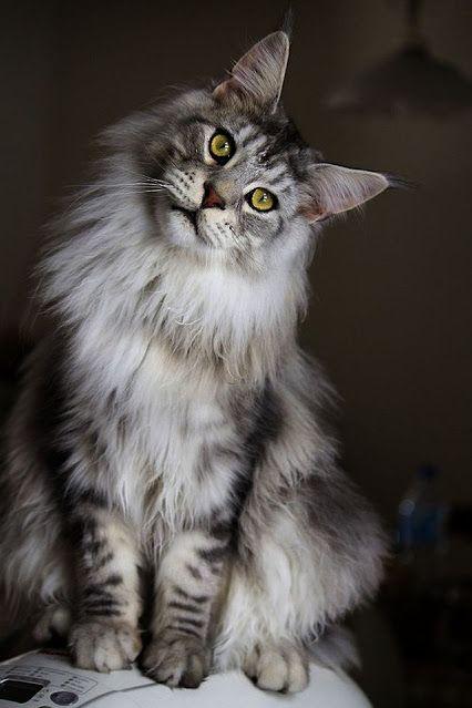 Google Katzenrassen Flauschige Katze Und Amerikanische Waldkatze