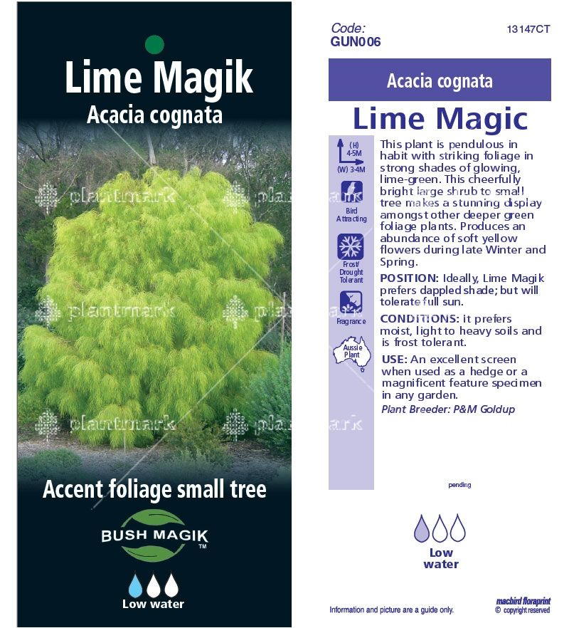 Image Result For Acacia Cognata Lime Magik For Sale Trees Acacia