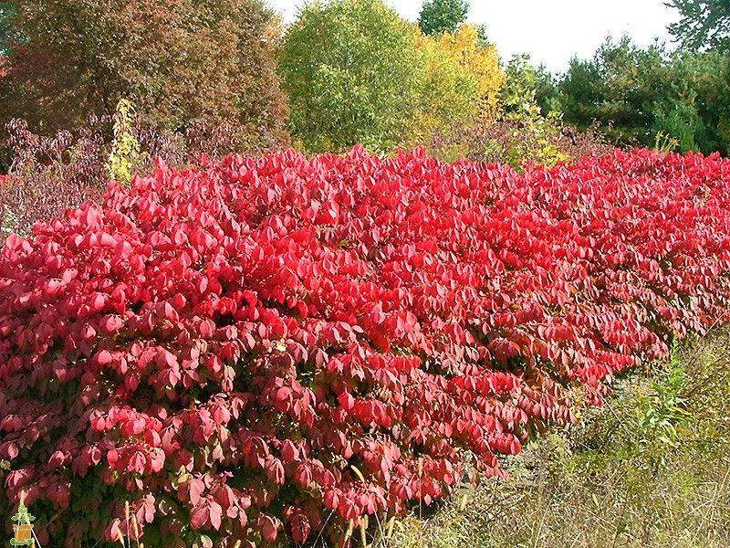 Burning Bush Shade Garden Burning Bush How To Trim Bushes