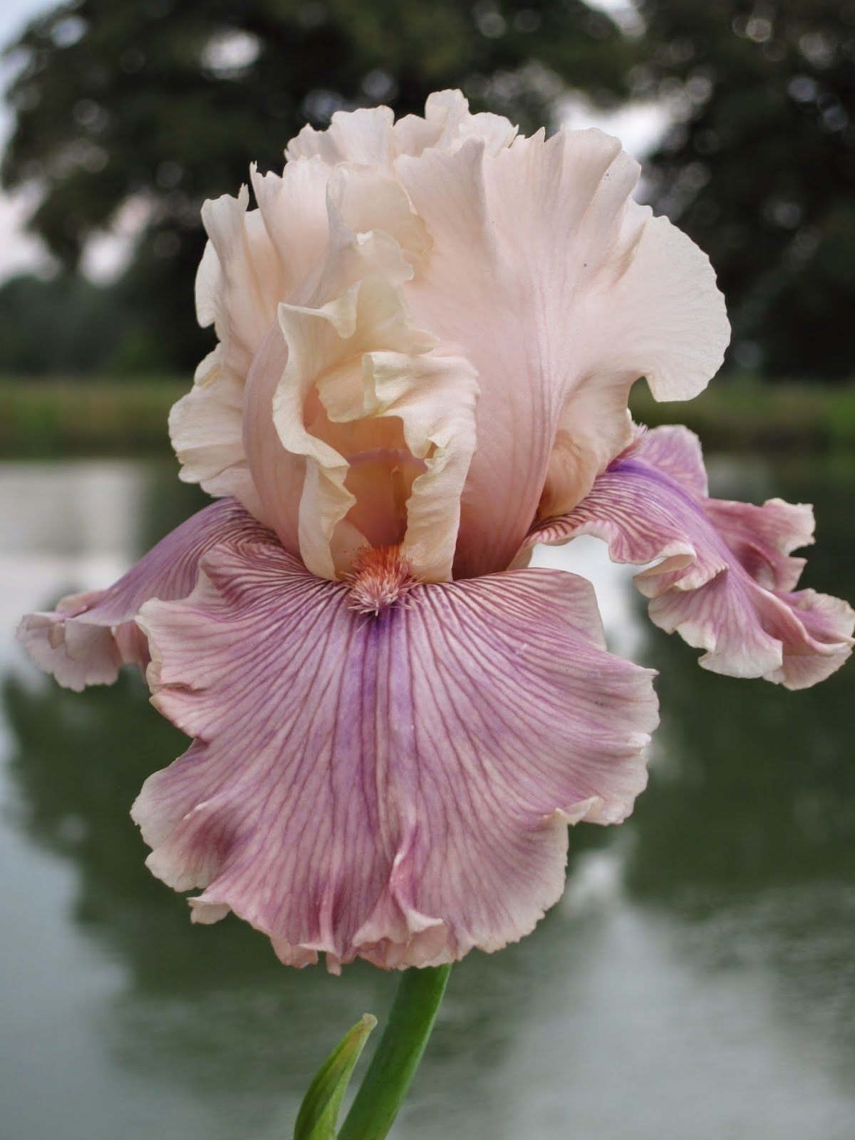 Where dragonflies say goodnight iris cross my heart flowers where dragonflies say goodnight iris cross my heart izmirmasajfo
