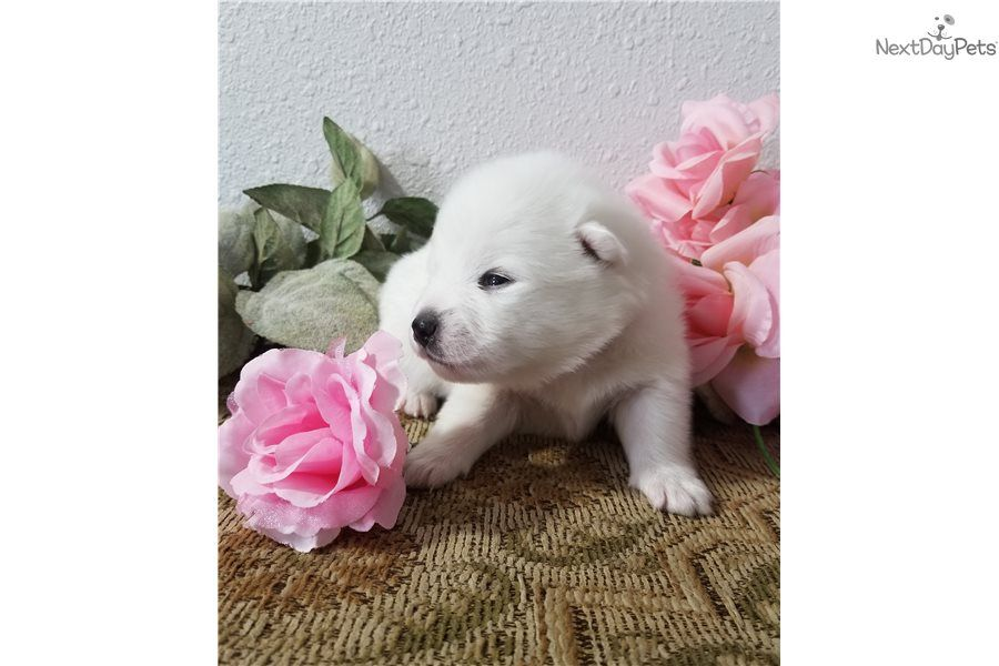 I Am A Cute American Eskimo Dog Puppy Looking For A Home On Nextdaypets Com American Eskimo Puppy American Eskimo Dog American Eskimo Dog Puppy