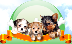Puppies For Sale And Adoption In Ohio Maltese Havanese Cavalier Pups Yorkie Puppy For Sale Puppies For Sale Toy Poodle Puppies