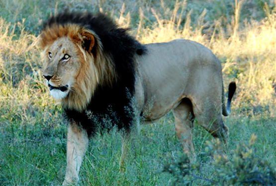 Ethiopia S Lions Famous For Their Black Mane Lions Male Lion Black Lion