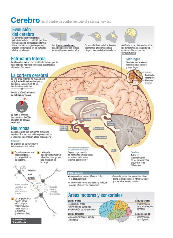 Cerebro Como Funciona El Cerebro Psicobiología Y