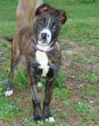 Adopt Carrie On Terrier Mix Dogs Pitbull Terrier Humane Society